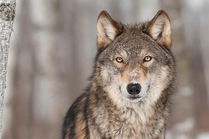 Λύκος Κοζάνη